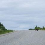 Ein Bär in Kanada Bikepacking Leo Schlüren